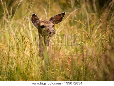Deer Doe Standing in Tall Grass Looking Away, Color Image, Day