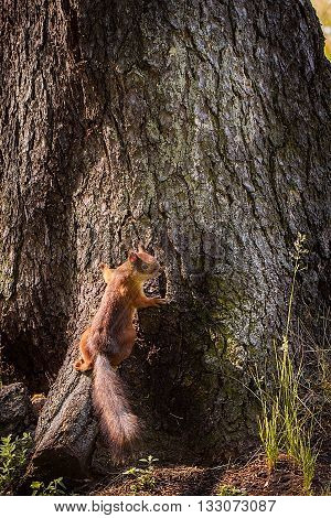 Squirrel In The Park On A Tree