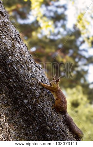 Young  Squirrel  In The Forest In The Wild