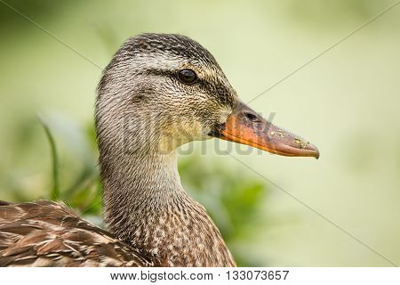 Female Duck Profile With Green Plantlife in the Background, Color Image, Day