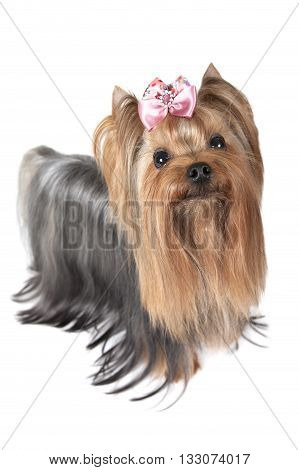 Studio shot of a two years old Yorkshire terrier dog in front of white background