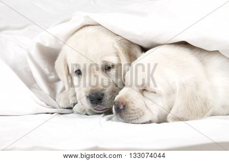 Two six weeks old purebred Labrador puppies lying in a bed covered by a blanket