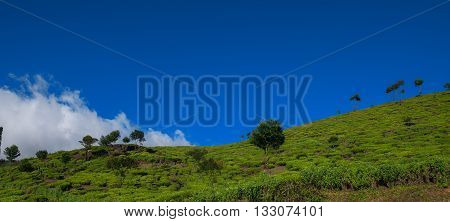 Green tea plantation hills with blue sky on background in Munnar, Kerala, India. Kolukkumalai tea estate point shooting. Kerala, Tamilnadu, India