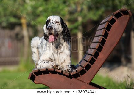 english setter dog posing outdoors in summer