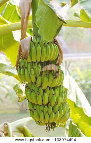 Green and unripe cultivar bananas on tree. Cultivate green banana on tree