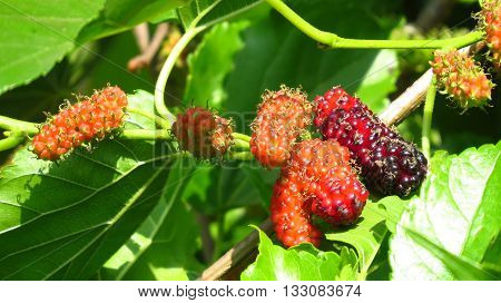 Ripe and sweet organically grown mulberries on a plant in a garden in the Indian tropics.