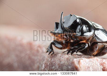Unicorn Beetle Portrait