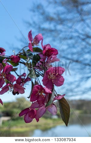 Blooms of a pink Dogwood drag the their branch downwards.