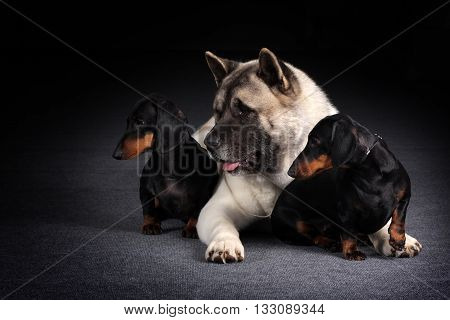 group of three dogs looking synchronously in one direction two dachshunds and an Akita inu