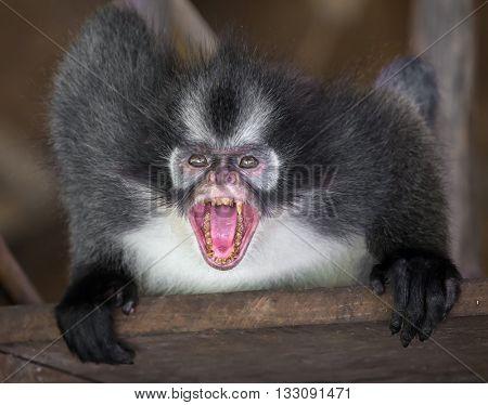 Angry Thomas's langur monkey showing his teeth, Sumatra, Indonesia.