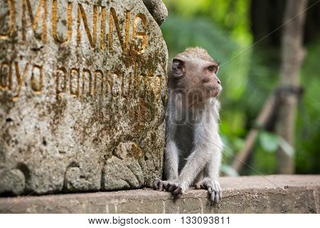 Rhesus macaque monkey sitting into the Monkey Forest in Ubud, Bali, Indonesia.