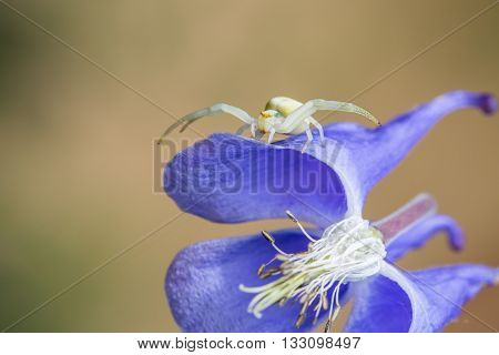 Macro of a Misumena vatia or crab spider ambush hunting on a flower.
