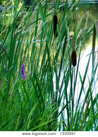 Cattails Beside Pond
