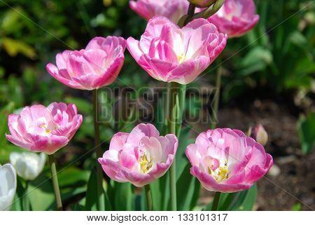 Closeup of a group beautiful sunlit tulips