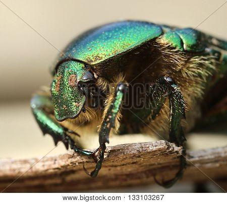 Anatomy of a rose beetle bug macro close-up