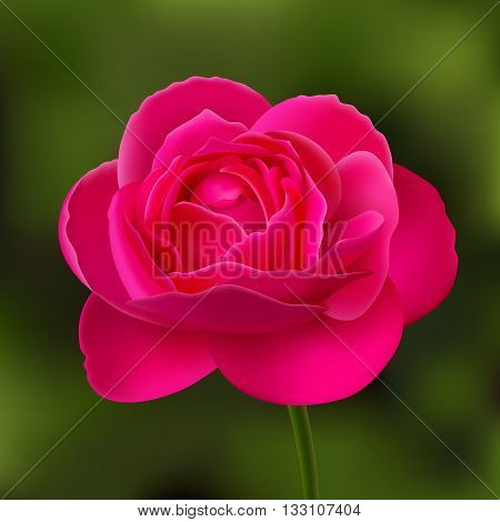 Flower of pink rose on stalk at green blurred background, background changing is available