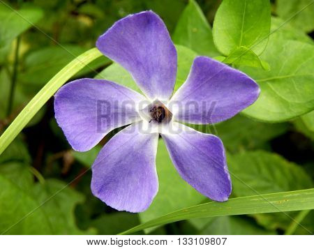 Close up of the Greater Periwinkle (Vinca major), Vinca major, with the common names bigleaf periwinkle, large periwinkle, greater periwinkle and blue periwinkle, showing a beetle in the centre of the flower