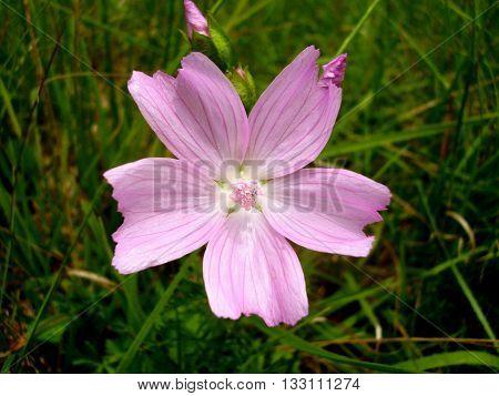 Close up of the wild flower Musk-mallow (Malva moschata)