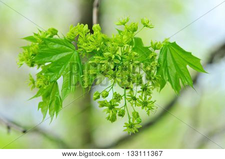 Flowering maple branch. Flowers maple. Spring tree.