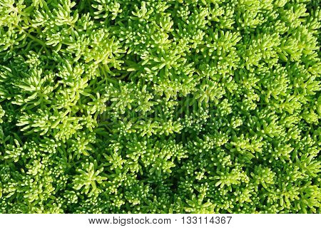 Green sedum close up in garden in sunny day