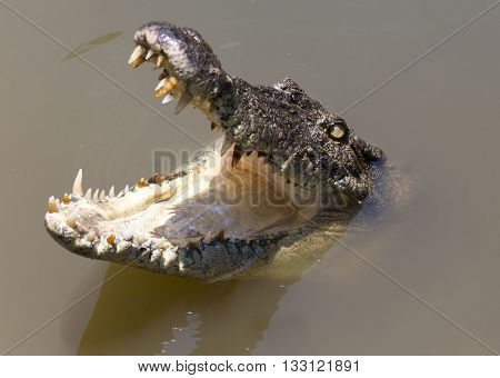 crocodile open mouth in water with reflection