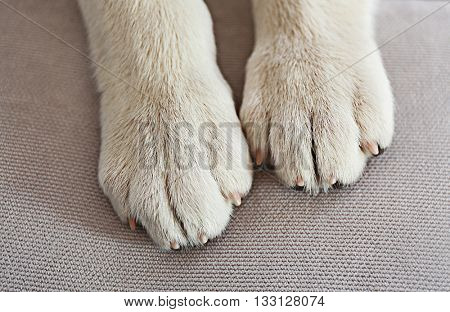 Dog paws on grey background, closeup