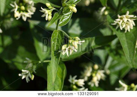 Flowers of the wild white swallow wort (Vincetoxicum hirundinaria).