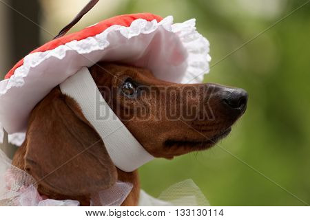 ST. PETERSBURG, RUSSIA - MAY 28, 2016: Dog in the agaric-shaped hat during Dachshund parade. The traditional festival is timed to the City day