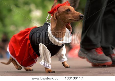 ST. PETERSBURG, RUSSIA - MAY 28, 2016: Dog in costume of Little Red Riding Hood during Dachshund parade. The traditional festival is timed to the City day