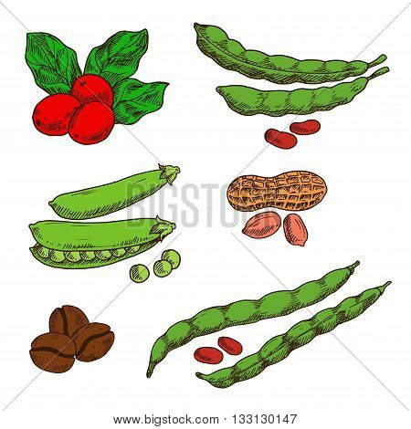 Healthful and nutritious peanuts, green pods and grains of sweet peas and common beans, fresh red fruits and roasted beans of coffee. Sketch symbols for food and drinks design usage