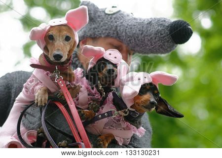 ST. PETERSBURG, RUSSIA - MAY 28, 2016: Man with his dogs in costumes of Three Little Pigs during Dachshund parade. The traditional festival is timed to the City day