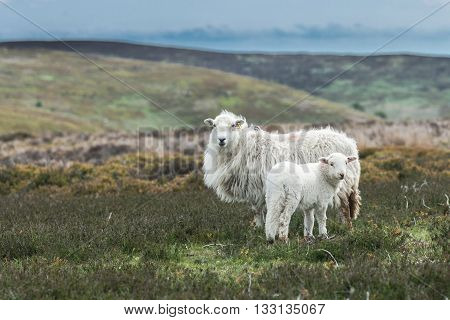 Furry Sheep and Lamb on Hilly Pastures