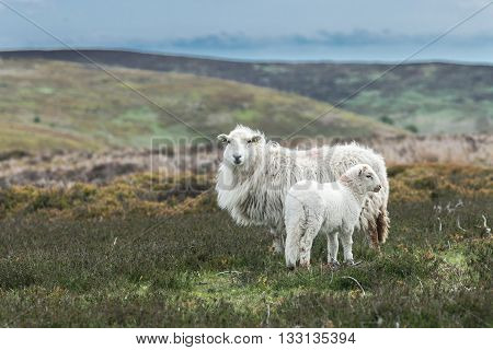 Lamb and Sheep Among Wild Hilly Landscape in Wales
