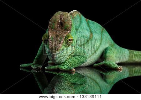 Green Parson Chameleon, Calumma Parsoni Orange Eye Rest on Mirror Isolated on Black Background