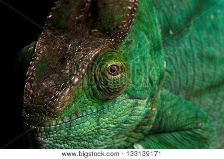 Closeup Head of Parson Chameleon, Calumma Parsoni Orange Eye Rest on Mirror Isolated on Black Background