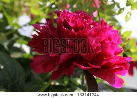 Peony in the sunlight show it's petal ruffle
