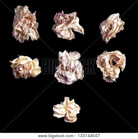Close Up White Rose Isolated On Black Background