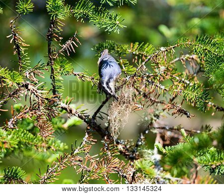 The red-breasted nuthatch is a small songbird. The adult has blue-grey upperparts with cinnamon underparts, a white throat and face with a black stripe through the eyes and a straight grey bill.