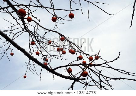 Persimmons ripen in a persimmon tree (Diospyros lotus) during November in Joliet, Illinois.