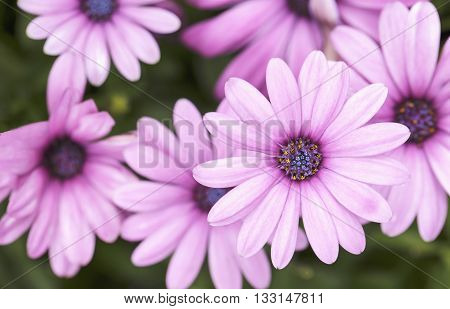 Beautiful pink daisy flowers in the garden