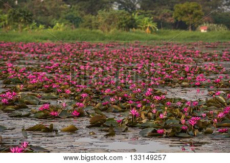 close up pink color fresh lotus blossom or water lily flower blooming on pond background Nymphaeaceae