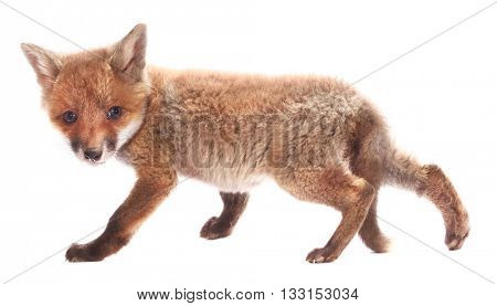 Little fox cub isolated on white background