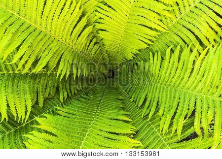 Top view of a garden fern closeup