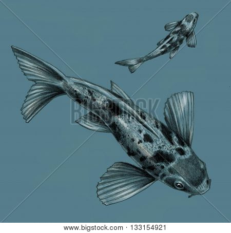 Japanese koi fish isolated on a blue background. Detailed pencil drawing