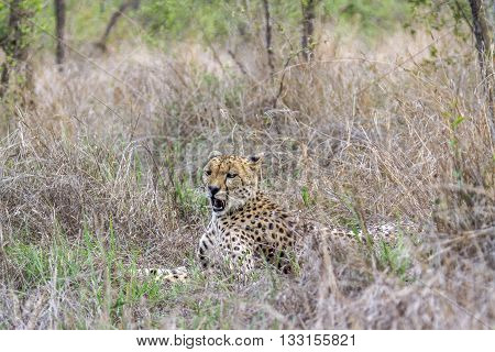 Specie Acinonyx jubatus family of felidae, cheetah resting in the bush in Kruger park