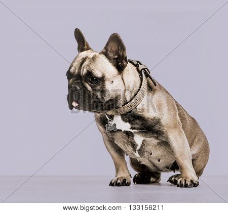 French Bulldog against a purple background, looking down