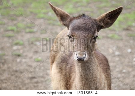 A young fallow deer standing outside in a field
