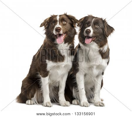 Couple of Border Collie sitting, sticking the tongue out, isolated on white