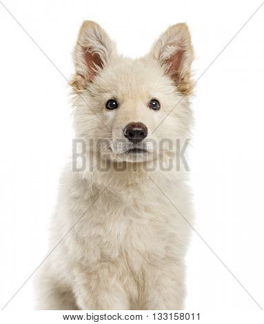 Close-up of a White Swiss Shepherd puppy looking at the camera, isolated on white