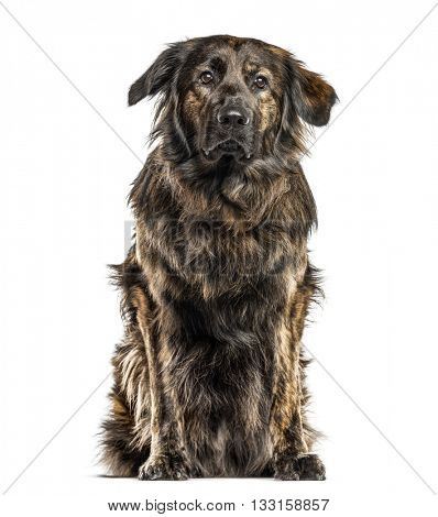 Crossbreed dog between a Golden Retriever and a German Sheperd looking at the camera, isolated on white